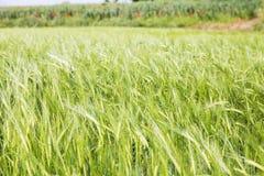 Green wheat field springtime Royalty Free Stock Photo