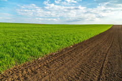 Green wheat field sprouting at spring season. Royalty Free Stock Images