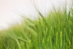 Green wheat Stock Image