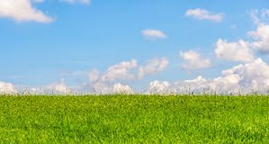 Green wheat field during summer with blue sky Royalty Free Stock Photography