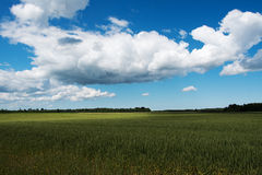 Green wheat field. Royalty Free Stock Images