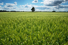 Green wheat field. Stock Photo