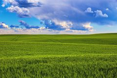 Green field in the summer. Green wheat field in the summer stock photos