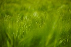 Green wheat field in summer. Macro shot beautiful sunny day stock photo