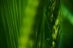 Green wheat field in summer. Macro shot beautiful sunny day royalty free stock photography