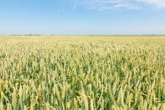 Green wheat field on sunny day. Agriculture royalty free stock photos