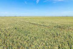 Green wheat field on sunny day. Agriculture stock image