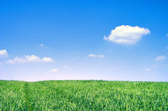 Green wheat field on sunny day Royalty Free Stock Image