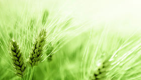 Green wheat field Royalty Free Stock Images