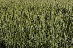 Green wheat  field and sunny day. Royalty Free Stock Images