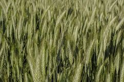Green wheat  field and sunny day. Royalty Free Stock Photo