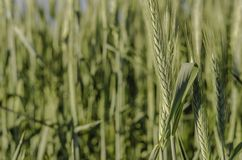 Green wheat  field and sunny day. Royalty Free Stock Photos