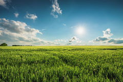 Green wheat field and sunny day.  Stock Image