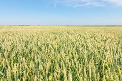 Green wheat field on sunny day. Agriculture Royalty Free Stock Photo