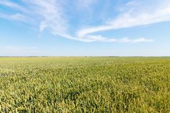 Green wheat field on sunny day. Agriculture Royalty Free Stock Image