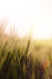 Green wheat field and sunny day Stock Photography