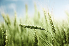 Green wheat field and sunny day Royalty Free Stock Photography