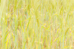 Green wheat field and sunny day. Field with ears. Royalty Free Stock Photography