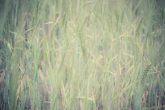 Green wheat field and sunny day. Field with ears. Royalty Free Stock Photo