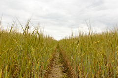 Green wheat field and sunny day. Field with ears. Royalty Free Stock Images