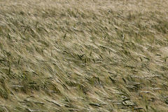 Green wheat field and sunny day. Field with ears. Stock Photography