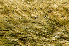 Green wheat field and sunny day. Field with ears. Stock Photos