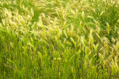 green wheat field and sunny day Stock Images