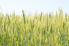 Green wheat field and sunny day Royalty Free Stock Images