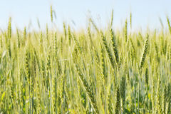 Green wheat field and sunny day Royalty Free Stock Photo