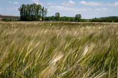 Green wheat field and sunny day, with unfocused trees and blue sky at background royalty free stock photography