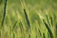 Green wheat in the field Royalty Free Stock Images