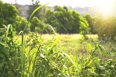 Green wheat field at sunset Royalty Free Stock Photography