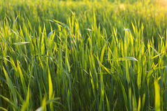 Green wheat field on sunset. Green fresh young wheat close up in the field on sunset Royalty Free Stock Photo