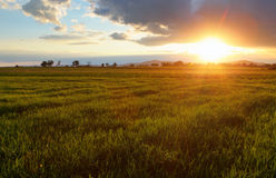 Green wheat field at sunset with sun Royalty Free Stock Image