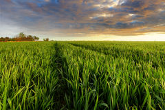 Green wheat field at sunset with sun Stock Photos