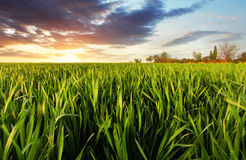 Green wheat field at sunset with sun Royalty Free Stock Images