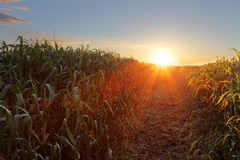Green wheat field at sunset with sun Royalty Free Stock Photos