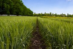 Green wheat field surrounded by forest under blue sky stock photo