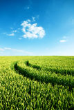 Green wheat field with tractor trails Royalty Free Stock Photo
