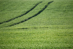 Green wheat field with trail Royalty Free Stock Images