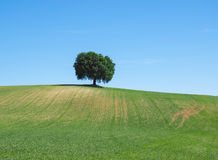 Green wheat field with a tree in the background Royalty Free Stock Images