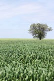Green wheat field and tree Stock Photos