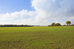 Green wheat field and trees. A green wheat field with autumnal woodland on the horizon under a blue sky in the yorkshire wolds Stock Photos