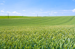 Green wheat field under blue sky Stock Images