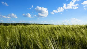 Green wheat field under blue sky with clouds. Crane lifted up shot stock video
