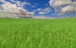 Green wheat field under blue sky and clouds Stock Image