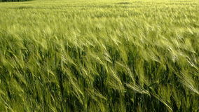Green wheat field under blue sky. Crane lifted up shot stock footage