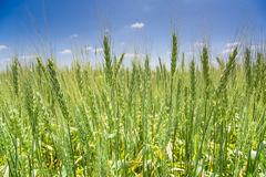 Green wheat field under a blue sky Royalty Free Stock Image
