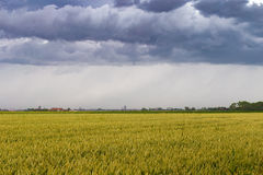 Green wheat field under stormy dramatic skies on Belgian coast Stock Photo