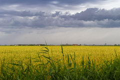 Green wheat field under stormy dramatic skies on Belgian coast Royalty Free Stock Image